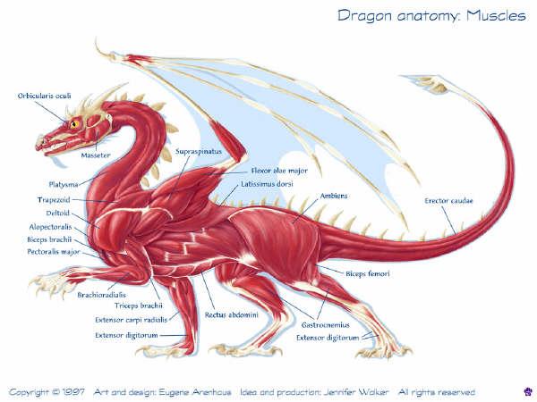 Western Dragon Anatomy